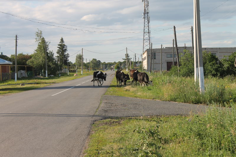 Коровы на улице в Сосновом Солонце